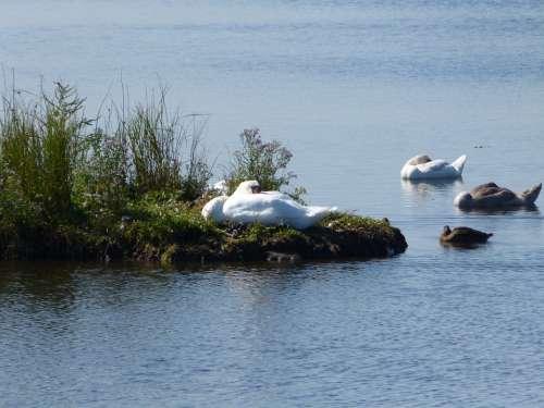 Swan Baltic Sea Geltinger Bakshi