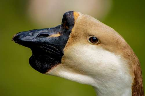 Swan Bird The Head Of The Closeup The Nose
