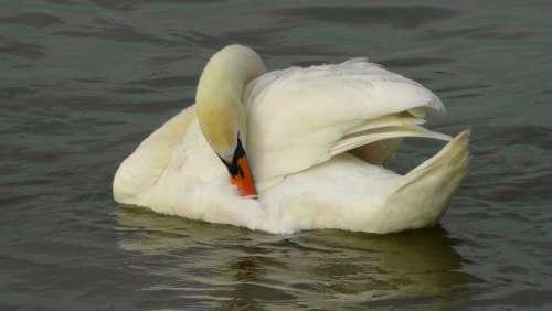 Swan Bird Water Bird Weis Animal Swans Water