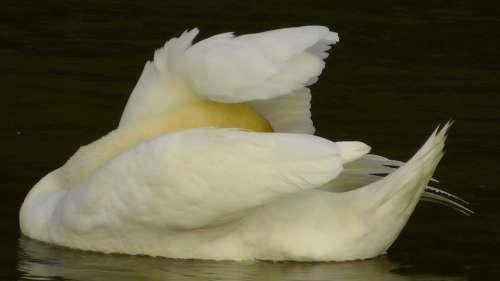 Swan Swans Water Waters Gooseneck Animal World
