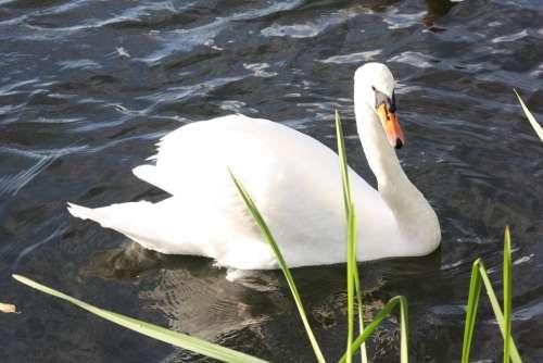 Swan Animal Water Waters Water Bird Lake Nature