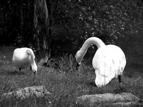 Swan Poultry Swans Animal Water Bird Duck Bird