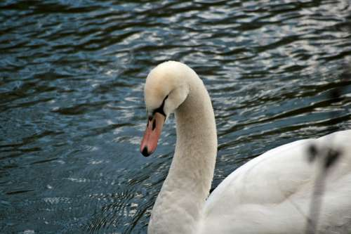 Swan Plumage Water Animal World Duck Bird Swans