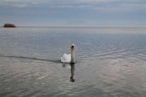Swan Nature Lake Balaton