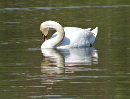 Swan Water Pond Animal Nature Bird Wild Life