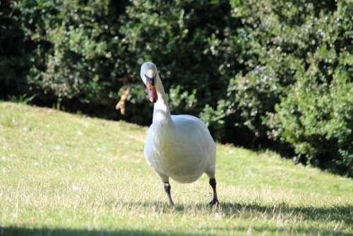 Swan Water Bird Bird Stand White Nature