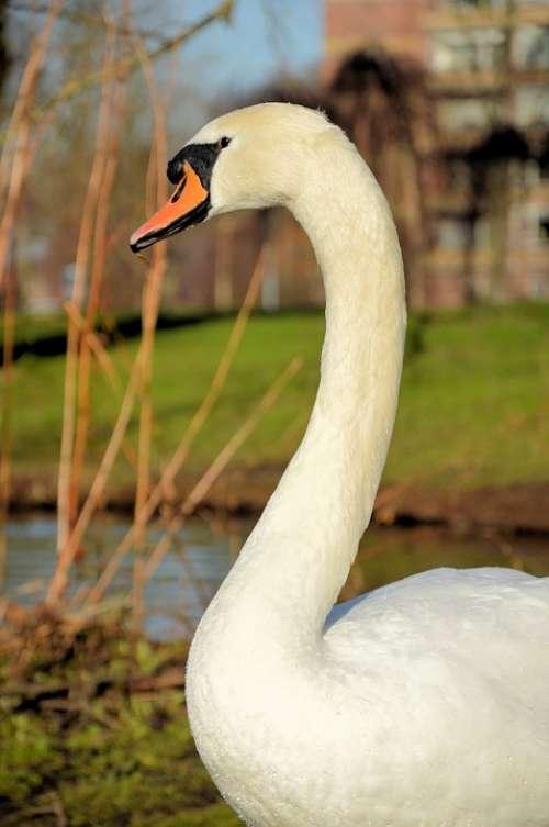 Swan Animal Bird Proud White Portrait