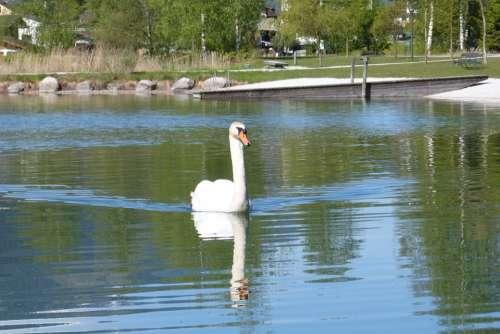 Swan Mirror Image Water Bird Water Lake