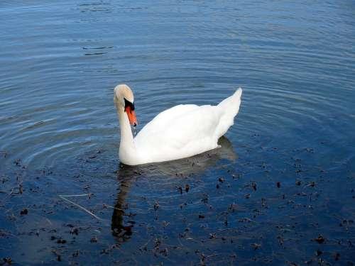 Swan Water Bird Water Swans Gooseneck Mute Swan