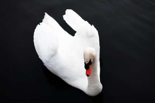 Swan Bird Nature Animal Fauna Ave Animals Wings