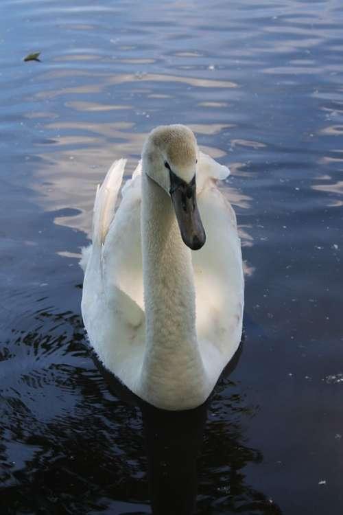 Swan Water Waters Lake Swim