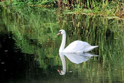 Swan White Elegance Reflection Water Plumage
