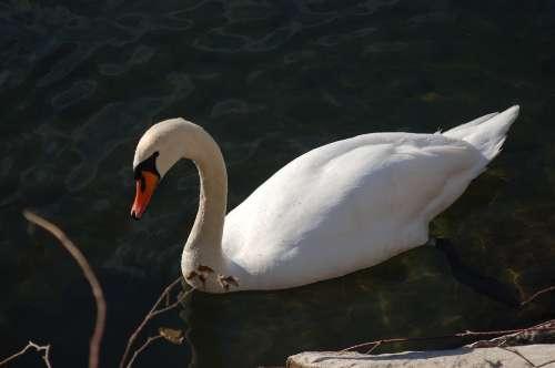 Swan Swans Nature Fauna