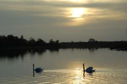 Swan Lake Sunset Reflection Bird Calm Graceful