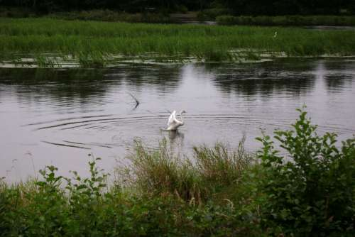 Swan Water Grass Green Nature Bird