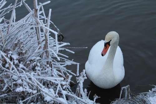 Swan Snow Nature Winter Landscape Branches