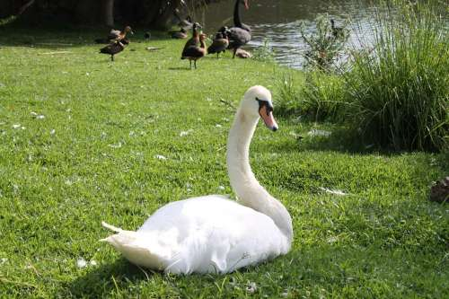 Swan Duck Bird