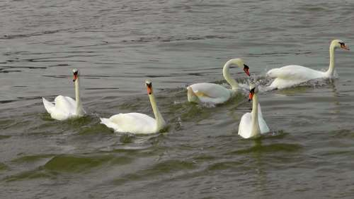Swan Dance Swans Swan Ballet Waterfowl Water Bird