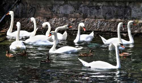 Swans Swan Animal Water Waters Lake Nature Bird