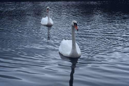 Swans Direct View Bird Water Purity Brightness