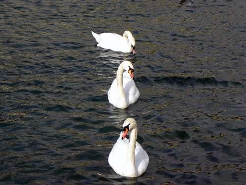Swans Lake Water Zurich