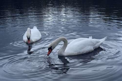 Swans Feeding Pond