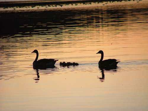 Swans Dusk Silhouette Swan Bird Night Reflection