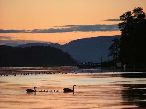 Swans Dusk Silhouette Swan Bird Night Reflection