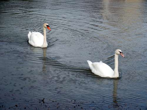 Swans Swan Waters Water Lake Beautiful Pride