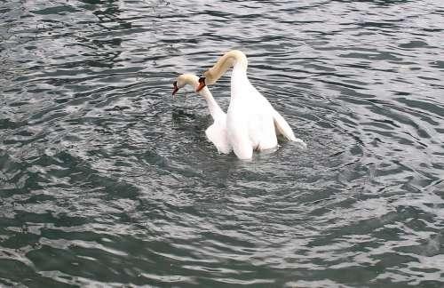 Swans Swan Pair Wedding Lake Lago Maggiore Locarno
