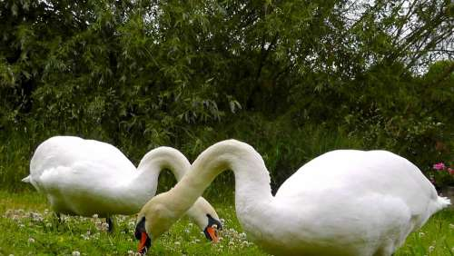 Swans Animals Beautiful Elegant Feather Mute Swan