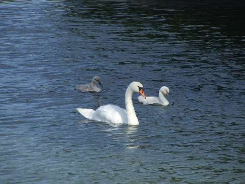 Swans Young Swan Waters