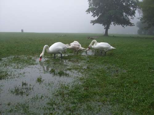 Swans Puddle Meadow Fog