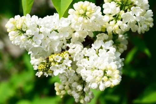 Syringa Vulgaris White Lilac Lilac Flower Buds