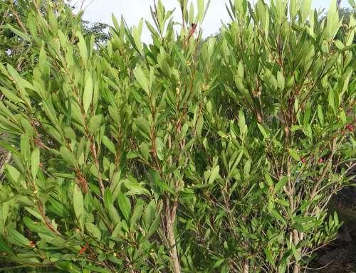 Syzygium Cumini Wild Riverbed Jambul Jambolan