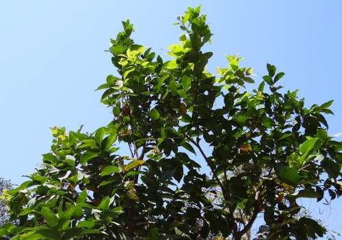 Syzygium Jambos Tree Rose Apple Fruit Tropical