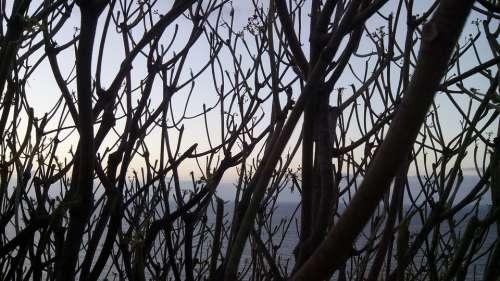 Tabaiba Tree Between Branches Sea Tabaiba