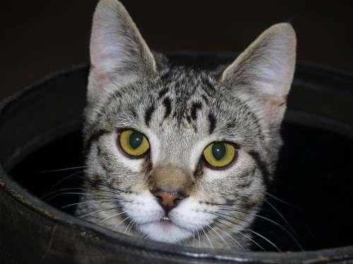 Tabbed Cat Face Portrait Feline Tabby Close-Up