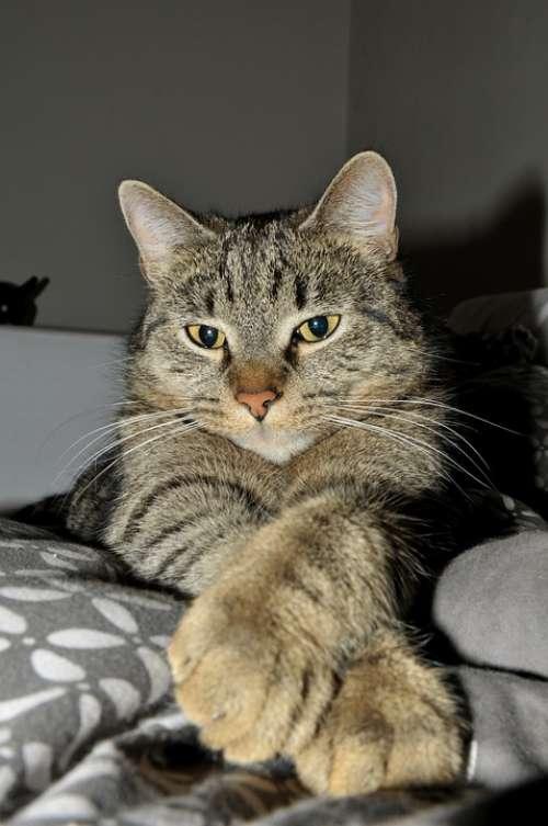 Tabby Cat Idle Cat Pets Rest Kitten Feline