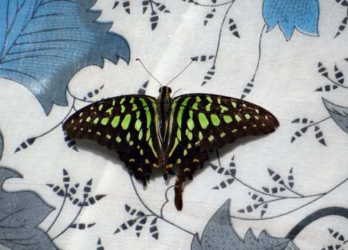 Tailed Jay Butterfly Insect Butterflies Macro