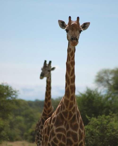 Tall Giraffes African Safari