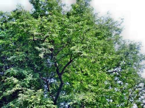 Tamarind Tree Nature Green Fresh Leaf Tropical