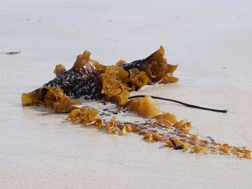 Tang Sea Beach Coast Flotsam