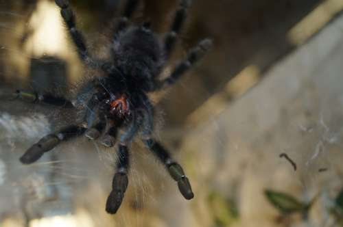 Tarantula Mandibles Spider Creepy Close Up