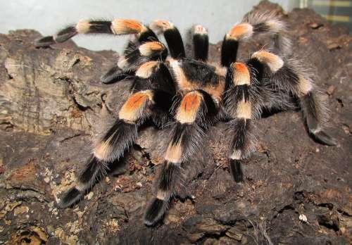 Tarantula Rotfußvogelspinne Spider