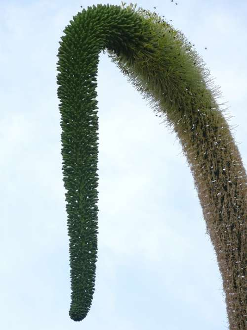 Tassel Plant Nature Curve
