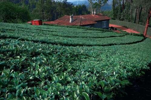 Tea Leaves Tea Garden South India Plantations