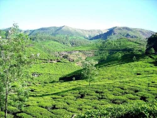 Tea Plantation Tea Garden Mountain Garden Tea