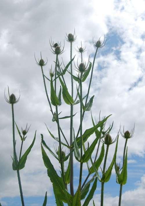 Teazle Dipsacus Teazel Plant Wild Prickly Common