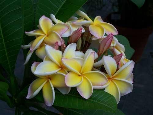 Temple Tree Blossom Bloom Nature Plant